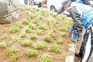 植えられたビオラ