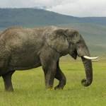 Vokietijoje cirko dramblys užmušė žmogų
