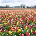 Rusija gali uždrausti gėlių importą iš Olandijos