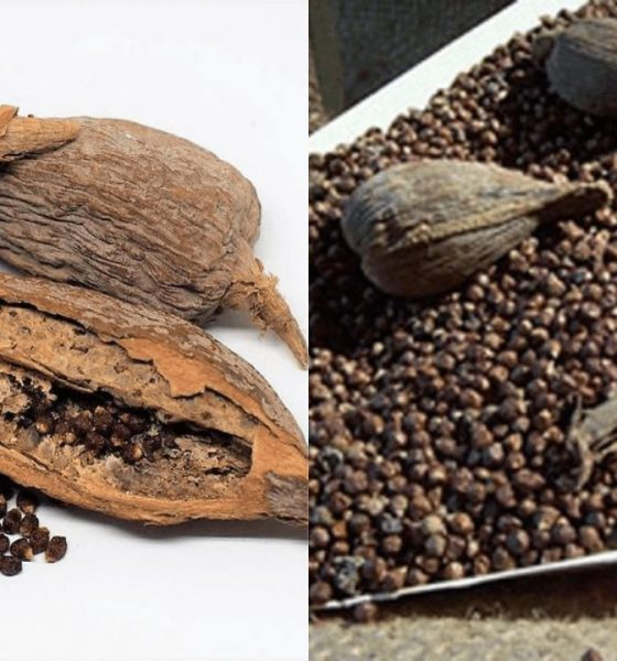 The Natural And Spiritual Wonders Of Alligator Pepper - How To Use