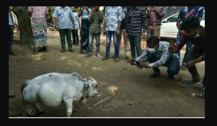 Photos show thousands of tourists attracted by dwarf cows