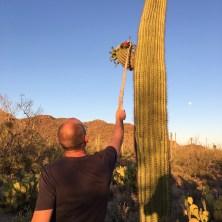 'Saguaro fruit picker'