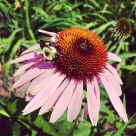 Fuzzy bee on a flower.