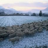 Transumanza in Val Belluna (ph A. Malacarne)