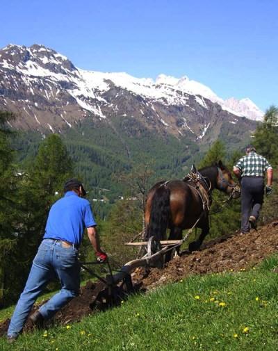 Aratura a Larzonei, comune di Livinallongo del Col di Lana (ph. S. Sanson)