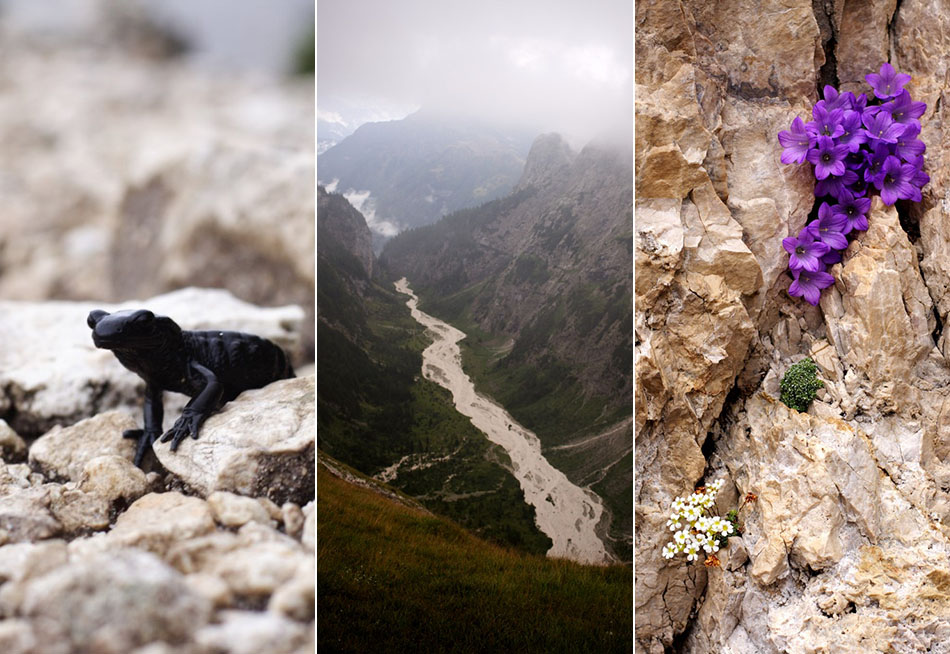 Salamandra alpina, Pian delle Comelle, Sassifraghe e campanule nelle fessure