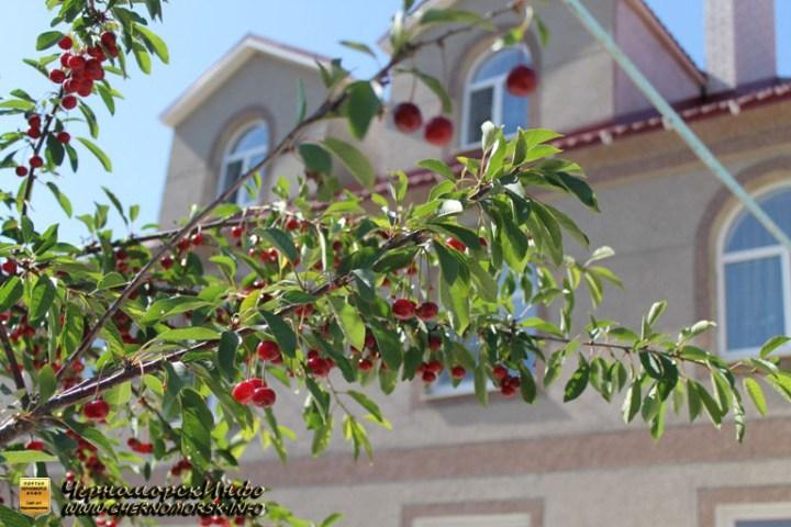 Вишня растущая во дворе пансионата