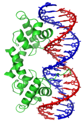 Double Helix - Red and Blue with Bands