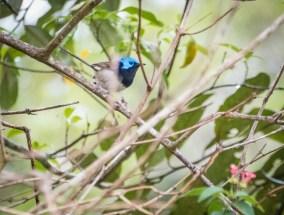 Superb Blue wren