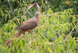 Brown pigeon - last in the interesting name category