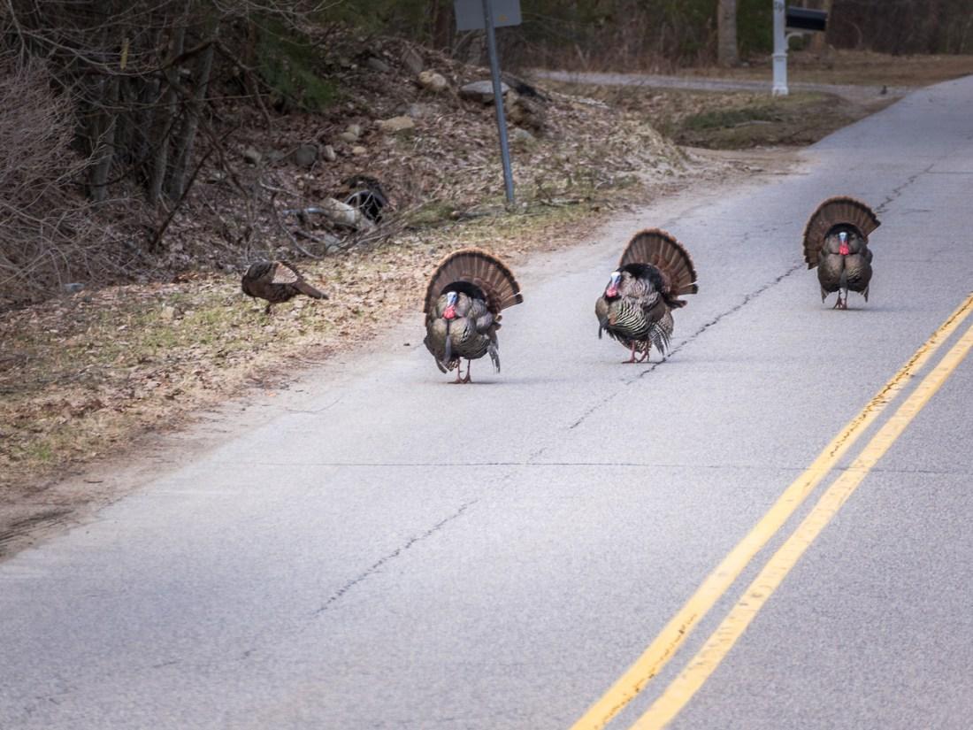 4 turkeys crossing a road