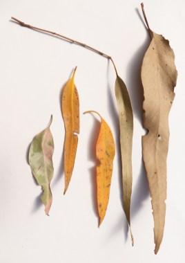 Gum leaves 2