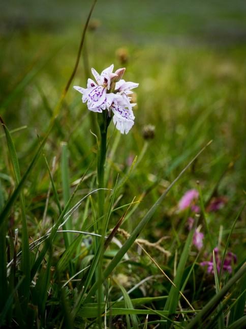 Swamp Orchid - St Kilda