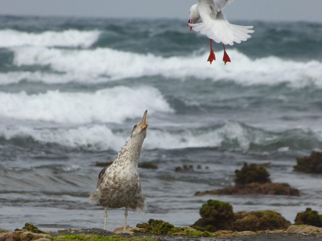 Sea birds at Woonona Beach
