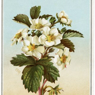 Flowering Strawberry Victorian Card