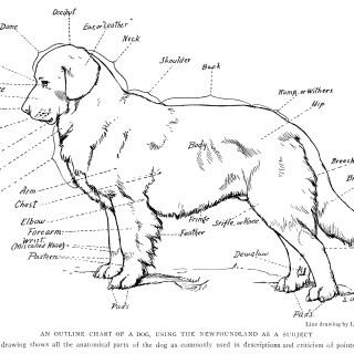 Anatomical Chart of a Dog Free Illustration