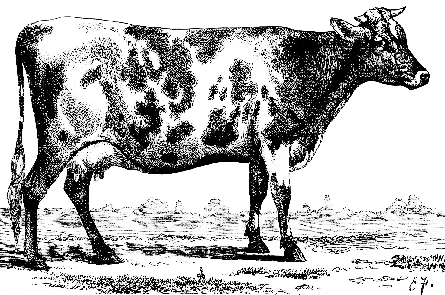 День, картинка коровы черно белая