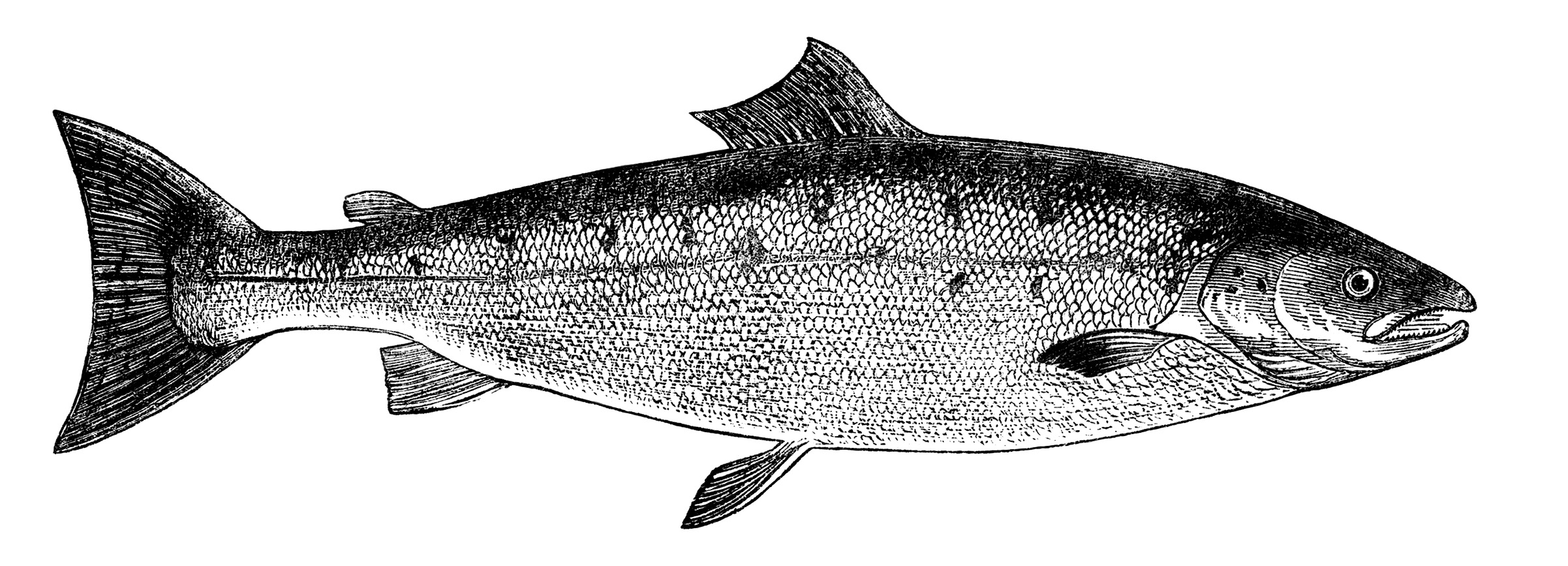 Free Vintage Fish Images ~ Salmon and Carp | Old Design ...