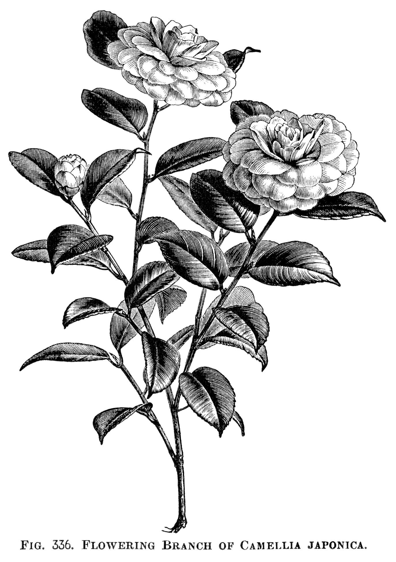 Japanese Rose Flowering Branch