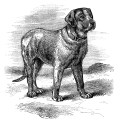 English Mastiff illustration, black and white clip art, vintage animal clipart, vintage dog image, mastiff dog sketch