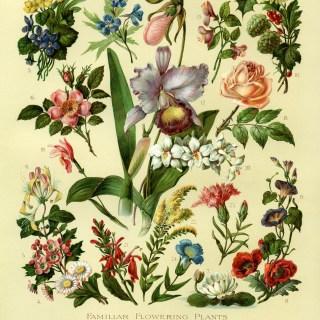Familiar Flowering Plants ~ Free Vintage Image