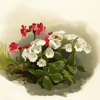 Primula Rosea ~ Free Vintage Image
