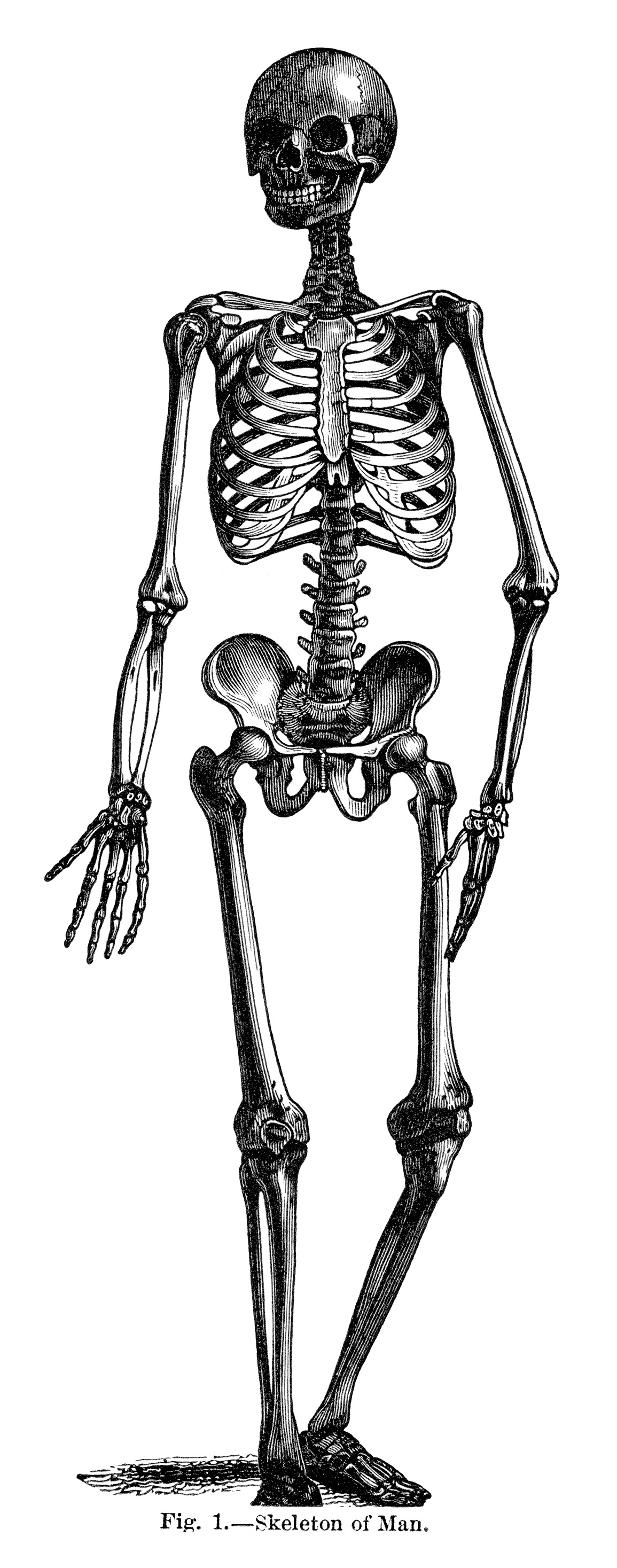Skeleton Of Man Free Vintage Clip Art