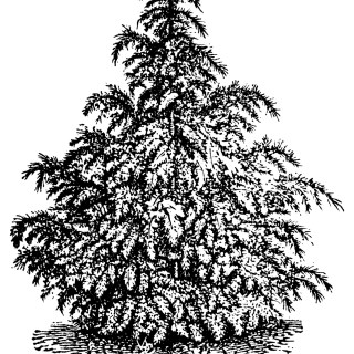 Cedrus Deodara Tree ~ Free Vintage Clip Art