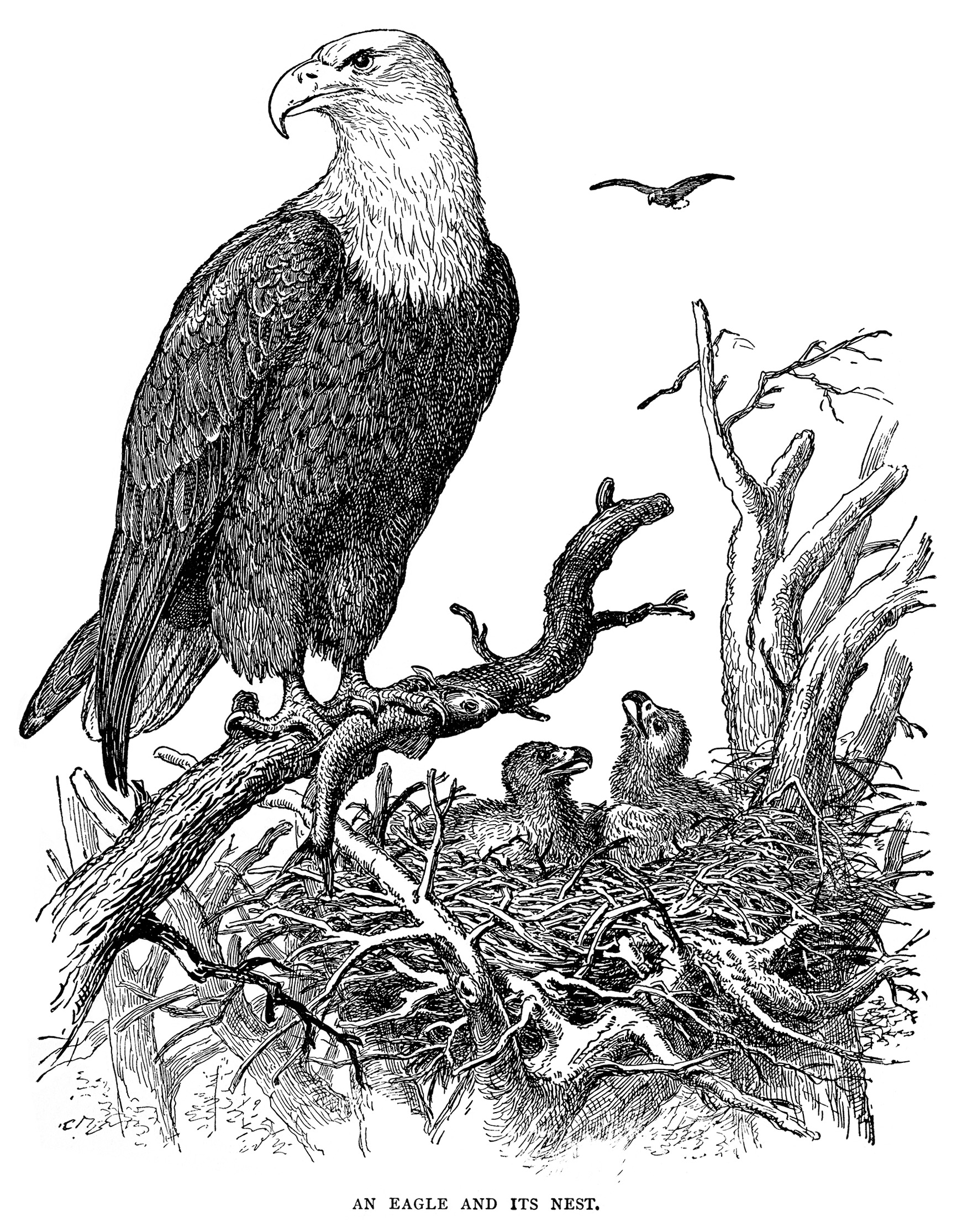 An Eagle and Its Nest ~ Free Vintage Illustration | Old ...