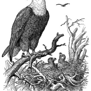 An Eagle and Its Nest