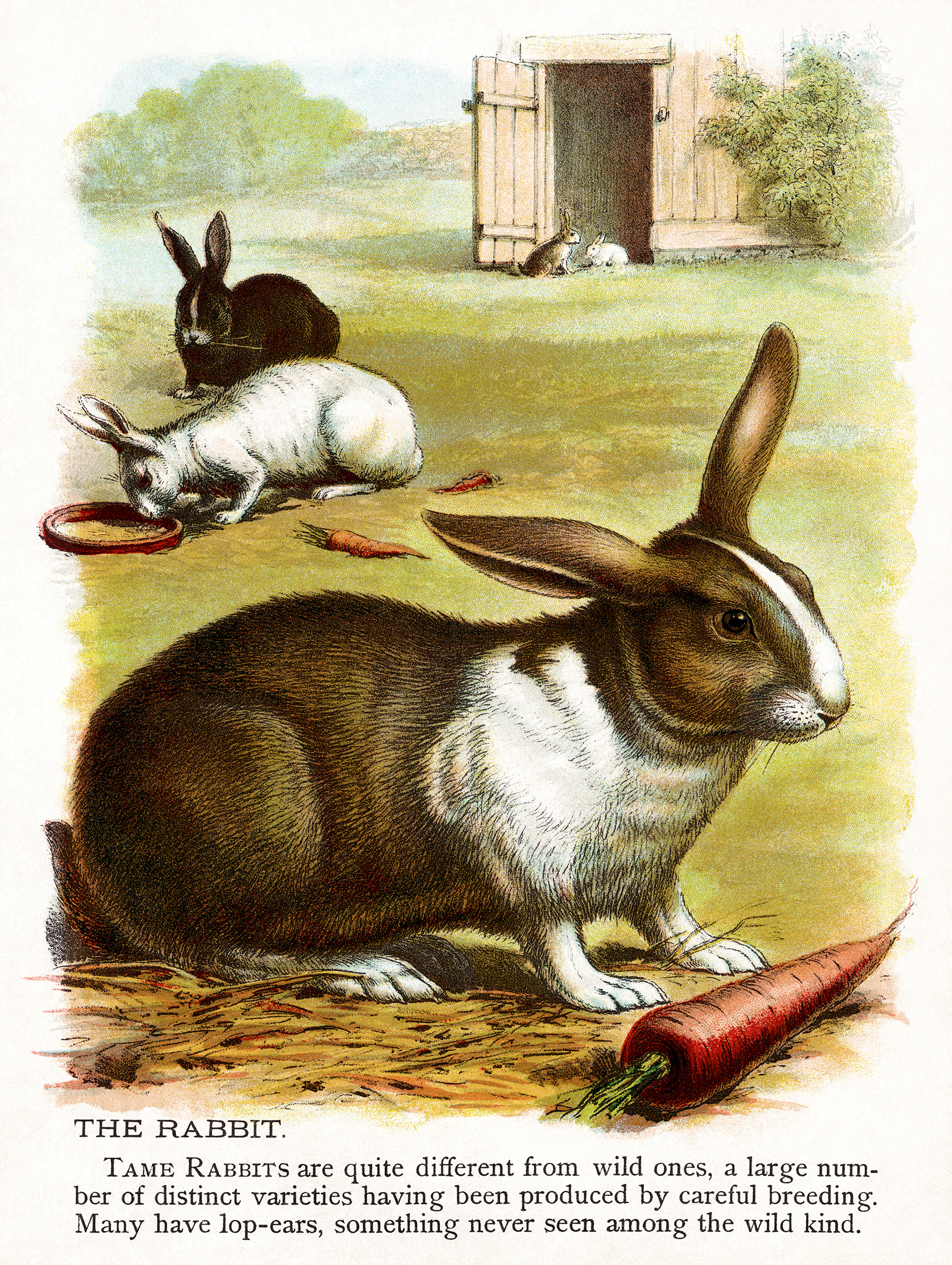 Rabbit Illustration Vintage