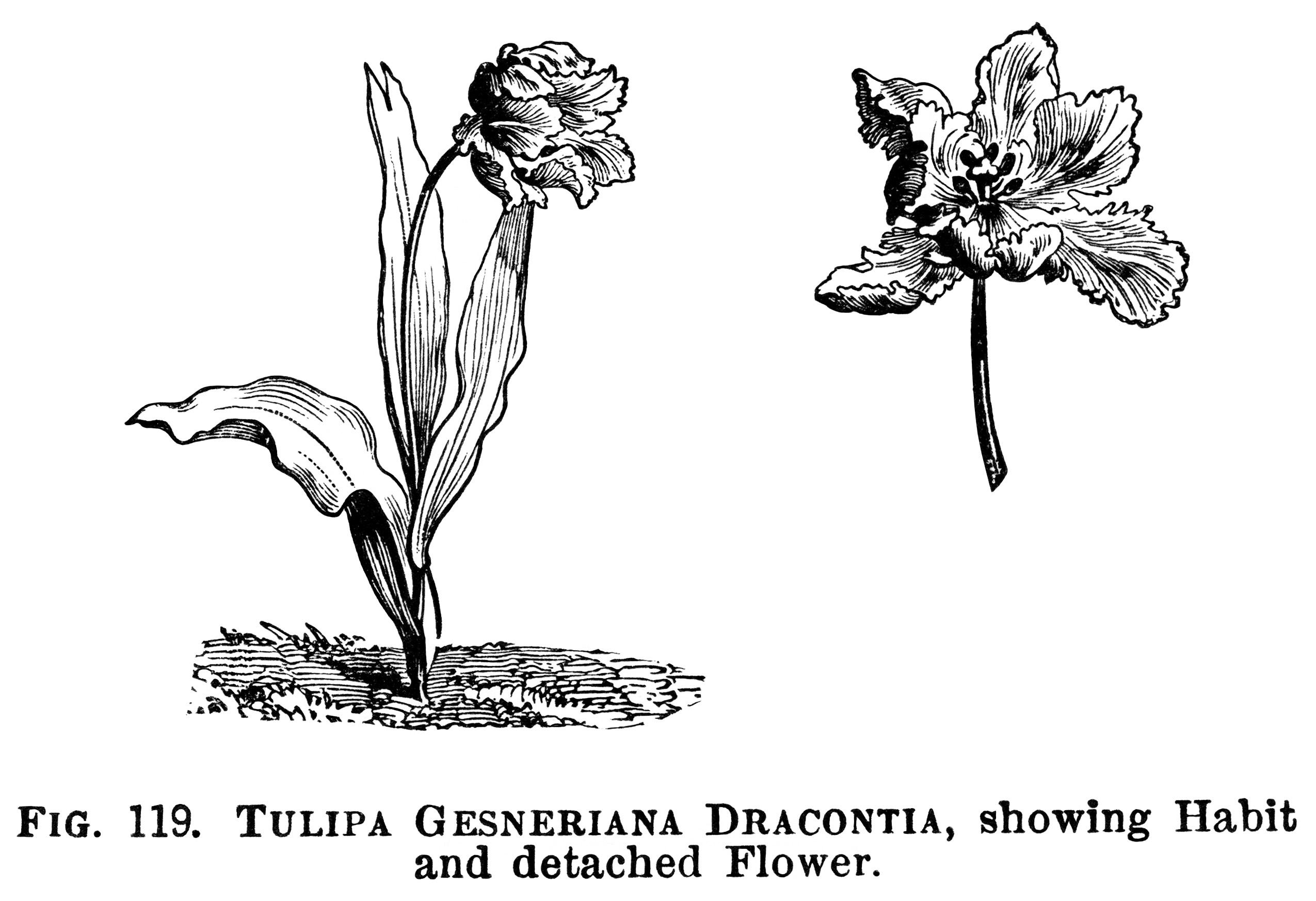 Tulips Free Vintage Clip Art