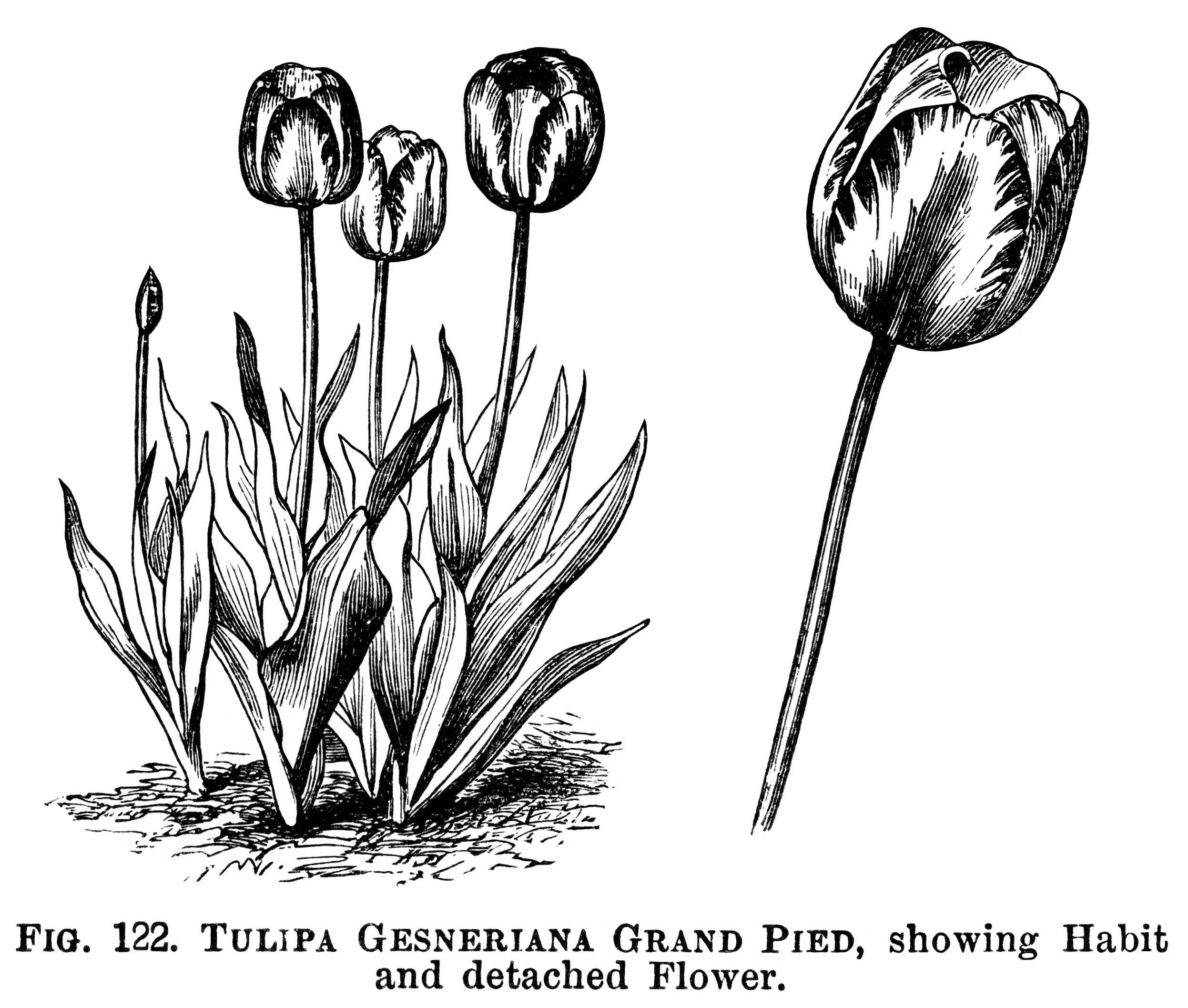 Tulips Free Vintage Clip Art