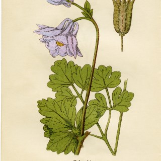 Columbine Purple Flower ~ Free Vintage Illustration