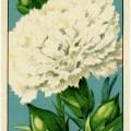 French seed label, old fashioned seed package, carnation seed pack, vintage garden clip art, vintage flower illustration