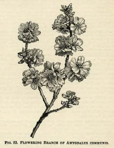 Amygdalus Communis, flowering almond, black and white clip art, vintage botanical illustration, printable floral image