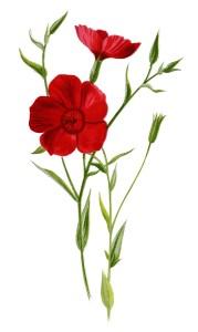 crimson flax, floral clip art, red flower illustration, vintage flower graphics, Frederick Edward Hulme