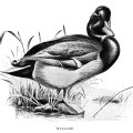 duck clip art, mallard illustration, black and white graphics, printable bird illustration, Louis Agassiz Fuertes