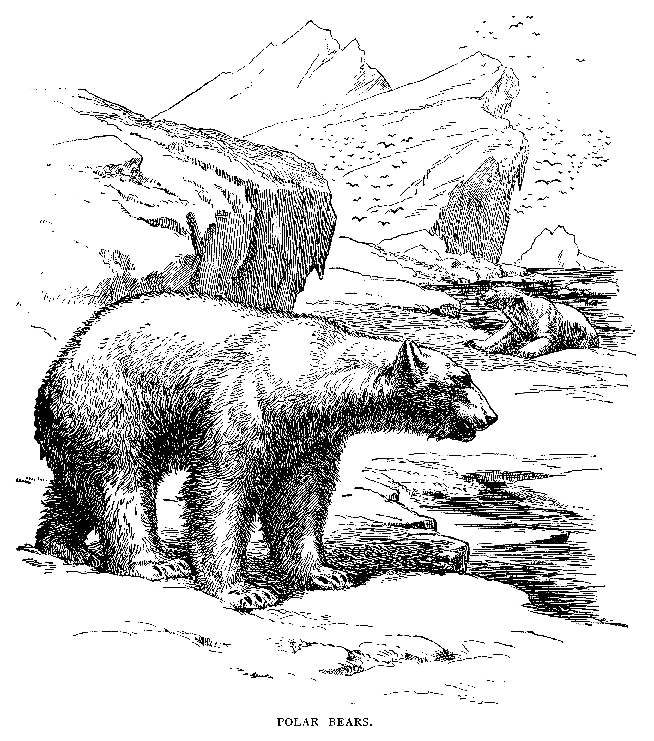Polar Bear Engraving