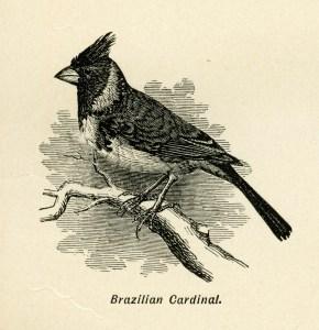 Brazilian Cardinal, bird on branch, black and white graphics, vintage bird clip art, digital bird illustration