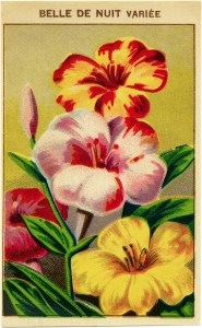 French seed label, belle de nuit, night blooming flower, vintage garden clip art, vintage flower illustration