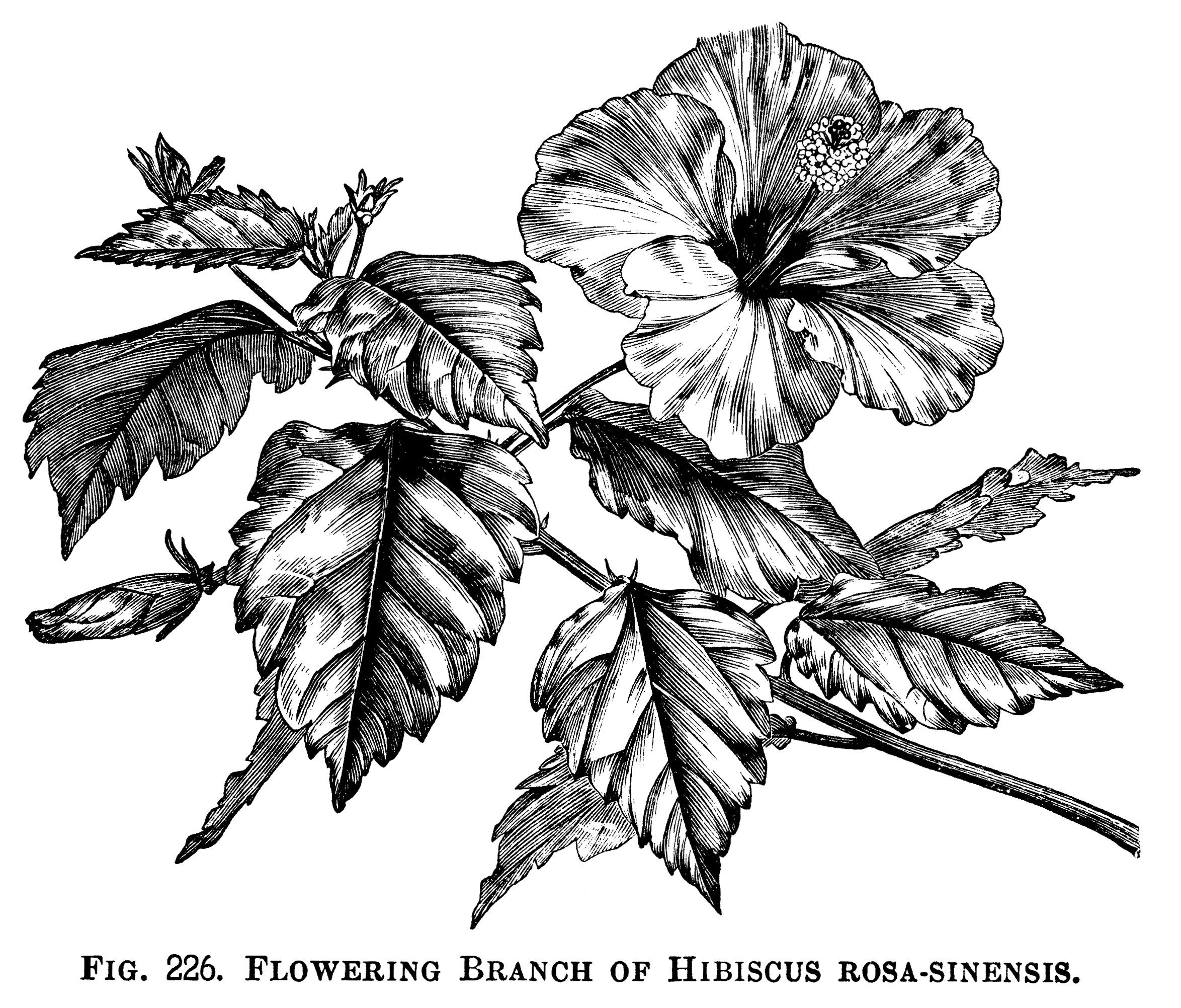 Hibiscus Rosa Sinensis Floral Clip Art