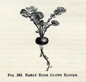 radish clip art, early rose globe radish, vintage garden graphics, vegetable clip art, black and white clip art