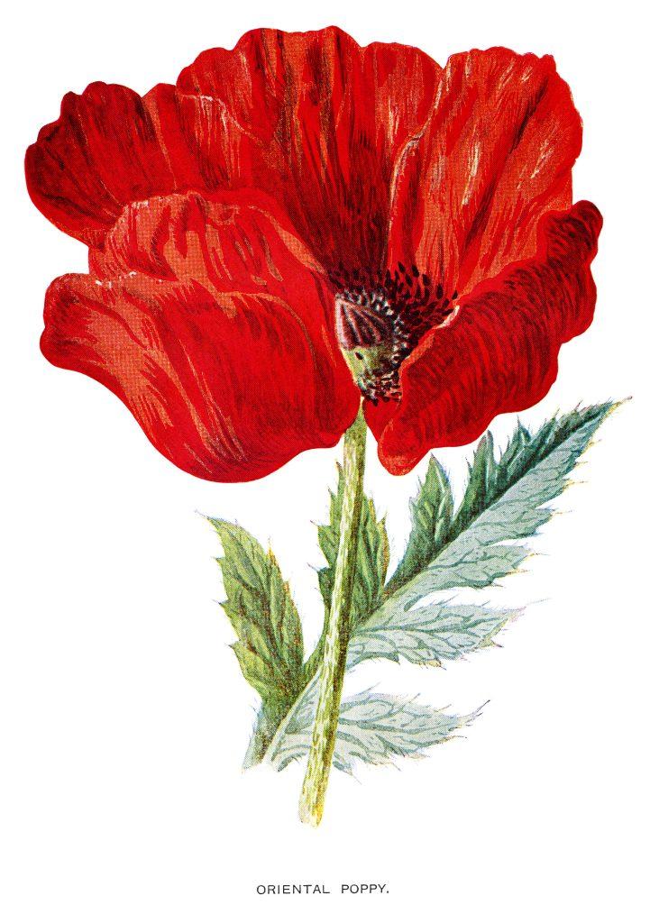 Red Oriental Poppy Old Design Shop Blog