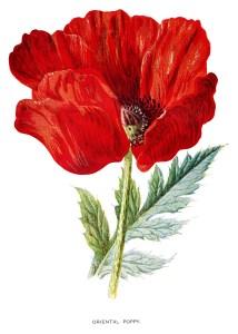 poppy clip art, Oriental poppy, vintage flower illus, Frederick Hulme, red flower graphic