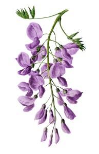 wisteria clip art, F Edward Hulme, vintage flower illus, purple flower, floral printable art, vintage wisteria art