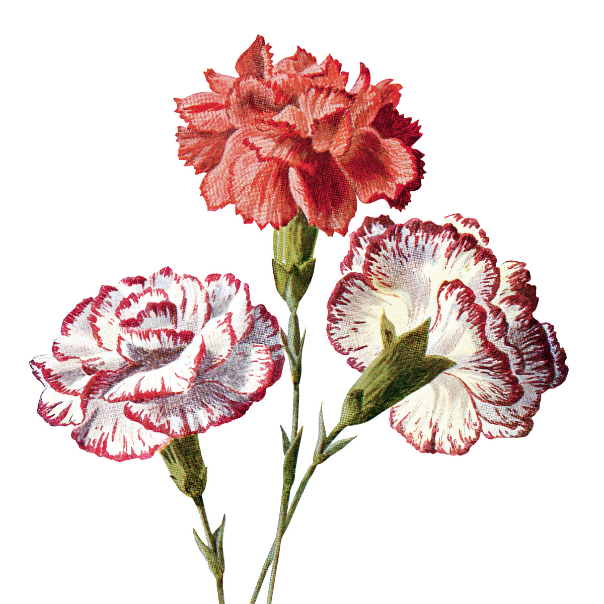 Free Vintage Carnation Flowers Clip Art Old Design Shop Blog