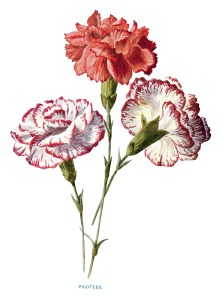free vintage carnation clip art red white picotees flower illustration