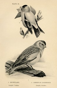 free vintage birds illustration snowflake goldfinch