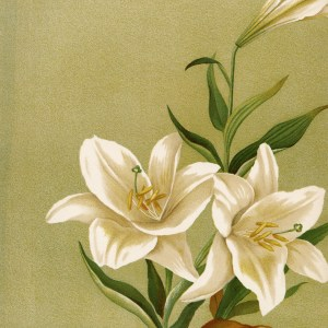 free vintage printable white lilies illustration